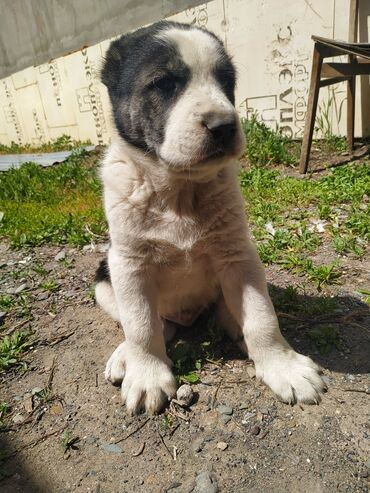 Средне азиатская овчарка (Алабай) щенки,  возраст : 1 месяц 10 дней кр