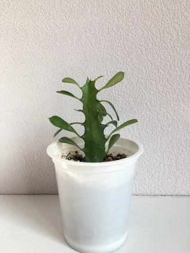 Otaq bitkiləri İmişlida: 3azn