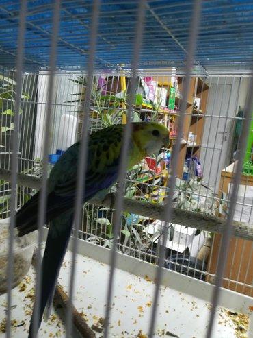 Певчие попугаи разные  в Сокулук - фото 4