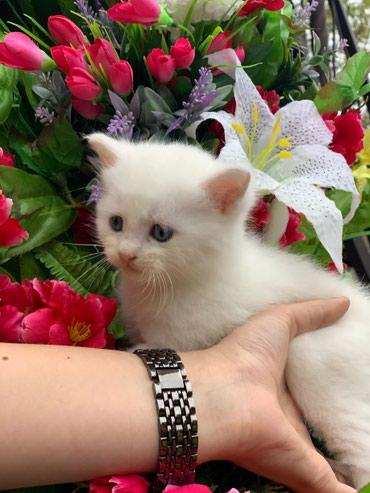 Продаю котят Шотландской породы! Без документов 2000 сом в Бишкек