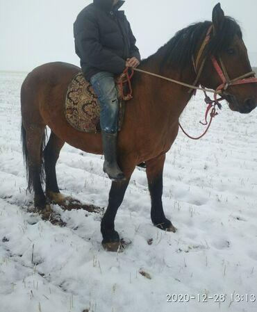 животн в Кыргызстан: Ат сатылат ! Айгыры улагы гарантия 5 асый базар коргондо