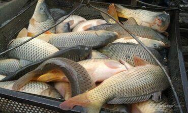 Живая рыба Балык даамдуу балык вкусная и сочная рыба . В наличии