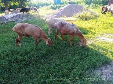 Животные - Кара-Балта: Продам матки ярок 15 голов возраст 3-4 года все в отличном состоянии