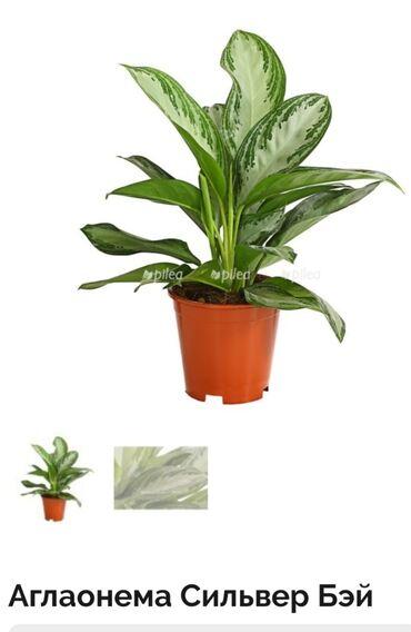 Другие комнатные растения - Кыргызстан: Очищает воздух от вредных примесей формальдегида, бензола (который