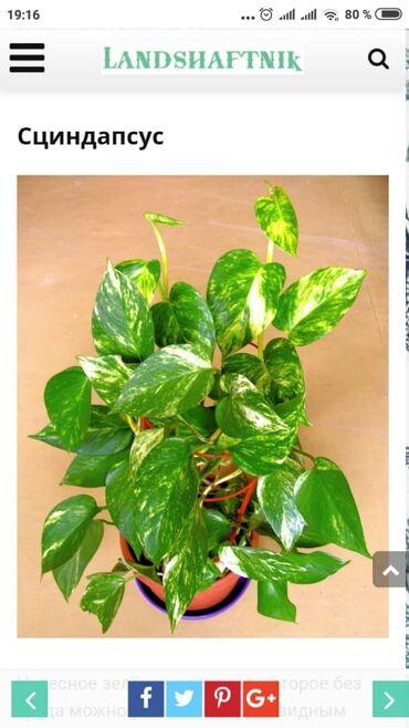 Комнатные растения в Кок-Ой: Сциндапсус по 100 сом молодые саженцы 2 месячные