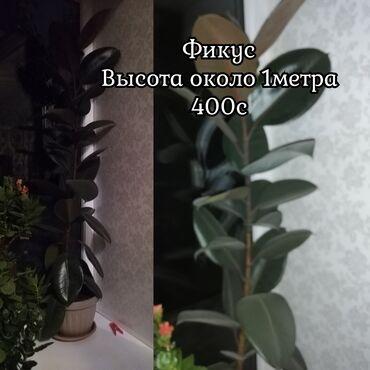 Фикус - Кыргызстан: Комнатные Цветы1. Фикус2. МолочайСамовывозАдрес: с. Новопавловка ул