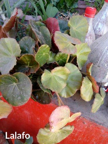Продаю комнатные цветы  в Кок-Ой - фото 2