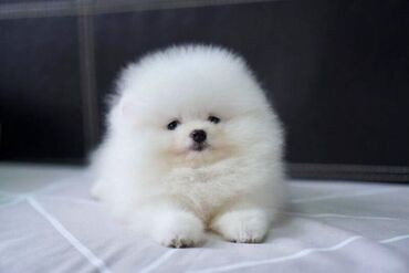 Healthy Home raised Pomeranian pups available   We have three AKC regi