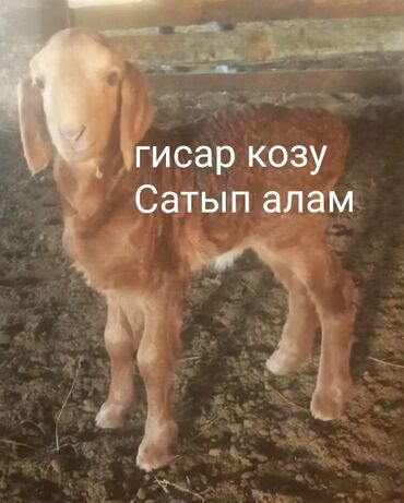 Гисар кой - Кыргызстан: Куплю   Бараны, овцы