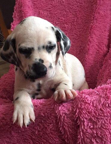 Sjajni dalmatinski psići dostupni na prodajuNevjerojatni su strašni