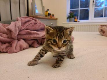 Διαθέσιμα γατάκια BENGAL whatsapp μου στο +Χαριτωμένα και υπέροχα