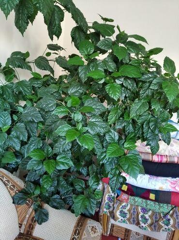Горшки для растений - Кыргызстан: Продаю китайскую розу, пышную два метра ростом