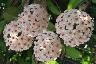 Bakı şəhərində Hoya Carnosa etirli mum ciceyinin artimlari satilir