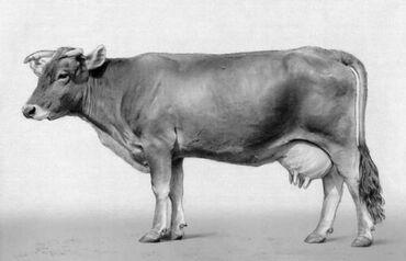 Куплю породистых коров алатоо, 1 и 2 отелем