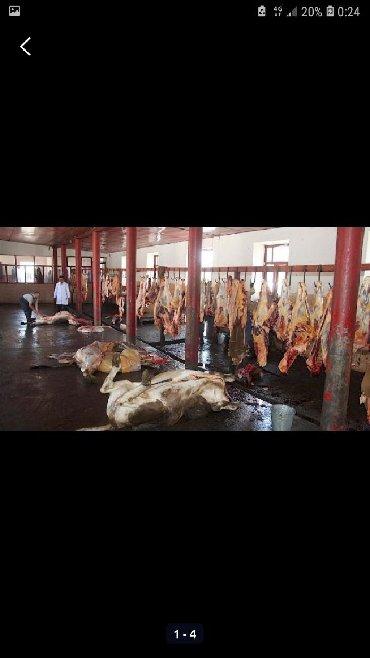 С/х животные - Кыргызстан: Принимаю скот Каров быков лошадь в Калбасный Цех и вынужденный забой