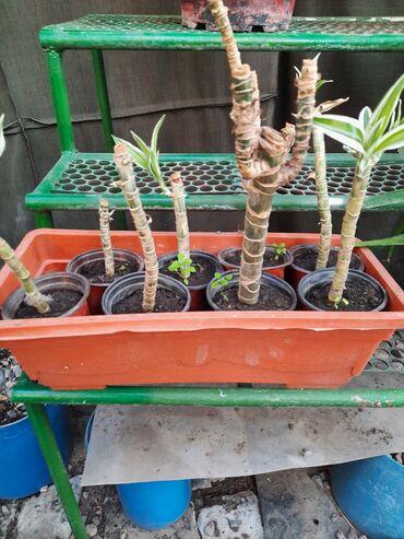 Алоэ - Кыргызстан: Растения комнатные и не только .росточки . юкка драцена фикус