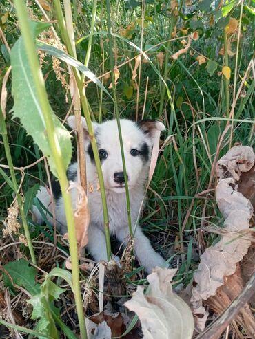 Животные - Горная Маевка: Щенки (смесь с хаски) 1 месяц