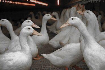 Животные - Студенческое: Продаю домашних белых мясных уток, в количестве 15 голов утки не