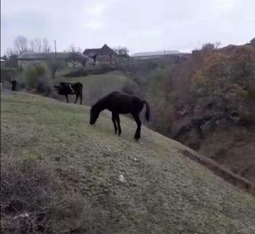 - Azərbaycan: Qulan, Qarabağ atı İsmayıllı rayonunda erkek 6 aylıq yorğa.Qiymətdə