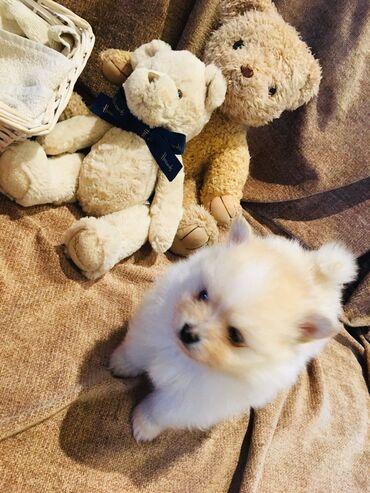 Κορυφαία κουτάβια Pomeranian προς πώλησηδιαθέτουμε αρσενικά και θηλυκά