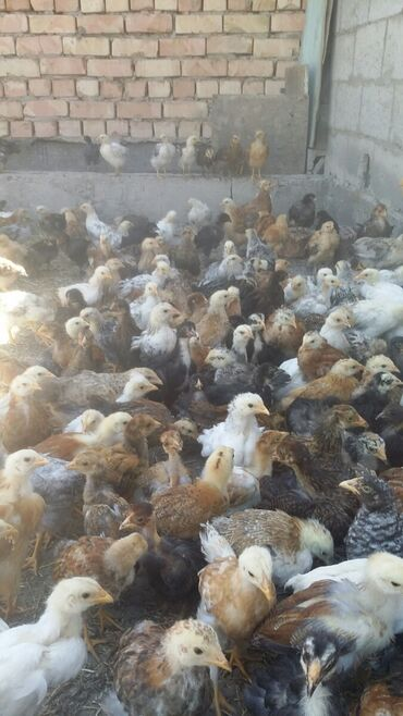 Животные - Садовое (ГЭС-3): Продаю двух месячных домашних петушков