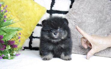 Λατρευτά κουτάβια Pomeranianδιεύθυνση email