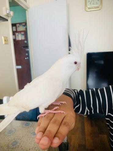Χειροποίητο λευκό Albinocockatiel προς πώλησηΨάχνω για ένα υπέροχο