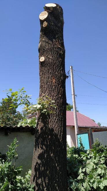 крем прикатен цена в душанбе in Кыргызстан   ПРОДАЖА УЧАСТКОВ: Продаю ствол дуба, высота 6м, диаметр 70см, стоит на корню, без кроны