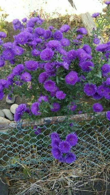 Цветы для сада, астра многолетняя, цена за небольшой кустик в Бишкек