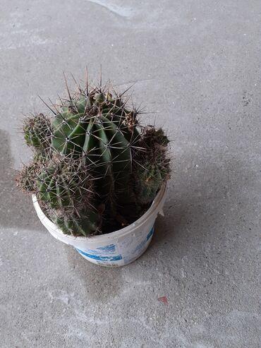 Kaktus - Azərbaycan: Kaktus