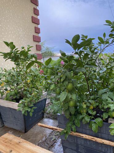 Лимоны - Кыргызстан: Деревья лимонов сорта Мейер. На первых рисунках деревьям по 4 года, а
