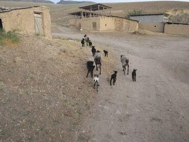 Животные - Сулюкта: Продаю | Овца (самка), Ягненок, Баран (самец) | Романовская | Для разведения | Племенные