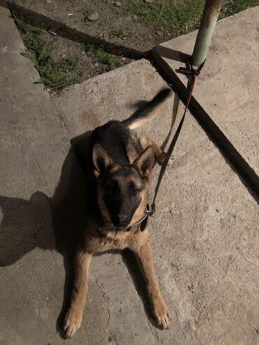 Продаётся афчарка срочно7000сом собака в Джалал абаде