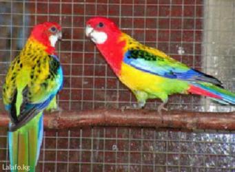 Попугаи разные от 600с в Кок-Ой
