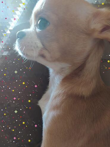 Продается щенок дев чихуахуа мини с родословной 1 год Хорошо устушплю