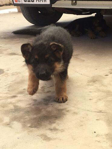 Животные - Нарын: Немецкий щенки от родословной овчарки месяц 20 дней уже