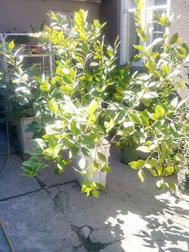 Лимоны - Кыргызстан: Продаю 2 больших дерева лайма сейчас с плодами разные сорта каждое по