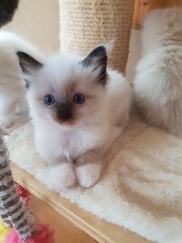 Mačke | Srbija: Ragdoll mačići na prodaju Pozdrav mojem oglasu. Mittens, naš simpatičn