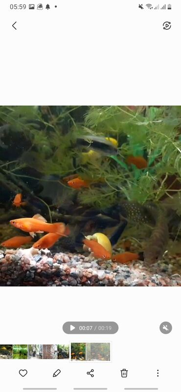 242 объявлений | ЖИВОТНЫЕ: Продаются аквариумные рыбки! Меченосцы красные, гурами шоколадные