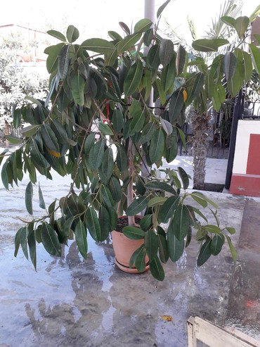 Otaq bitkiləri Sabirabadda: Ev gulu ofis ucun mekteb idare
