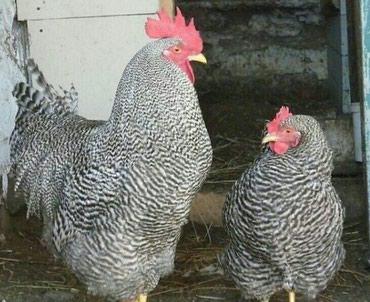 tap az cuceler - Azərbaycan: Qiqant toyuglar adlerski amrosk, qemberi yumurtasi 3man cuceler de var