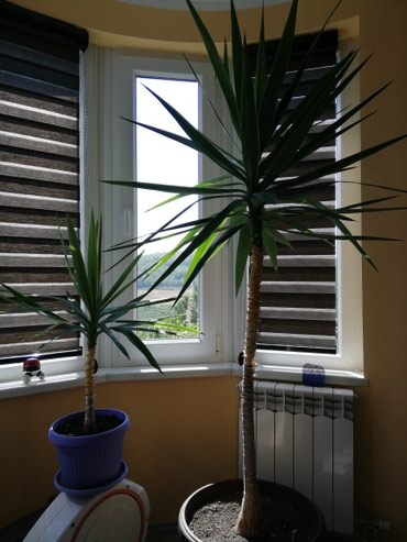 Kućne biljke | Srbija: Drvo života, preuzimanje lično
