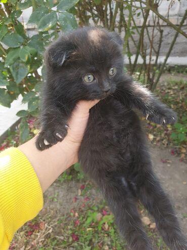 Животные - Кыргызстан: Читокровные котята вислоухие.Осталось две девочки (окрас