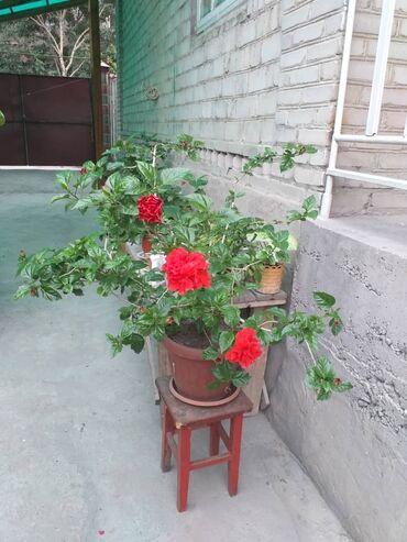 Printer epson p50 na zapchasti - Кыргызстан: Китайская домашняя роза