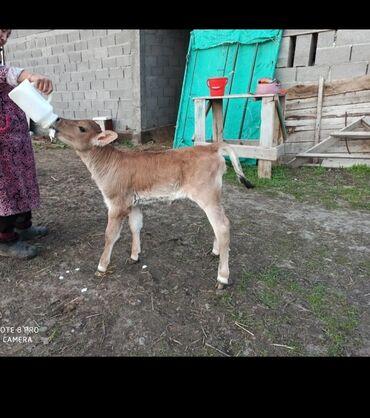 корова купить цена в Кыргызстан: Куплю | Коровы, быки | Бесплатная доставка