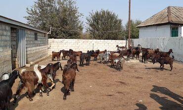Животные - Имишли: 1-3 yaşlarında Hələb keçilərinin təkələri (5 baş) satılır. Keçilər