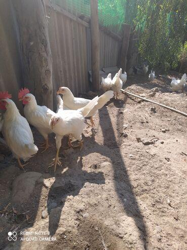 Животные - Маевка: Продам петушков породы леггорн .Возраст 2,5-3 месяца .На