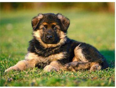 Приму даром щенка овчарку либо любого щенка (породистого)