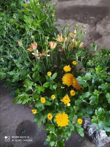 Хризантемы оптом и в розницу все сортовые мультифлора шаровидная