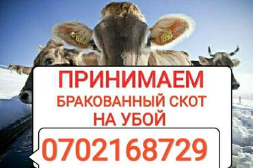 В колбасный цех принимаем коров лошадей бычков и тёлок в ЛЮБОМ ВИДЕ в